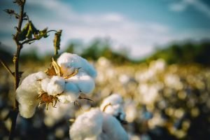 Land of cotton in Alabama