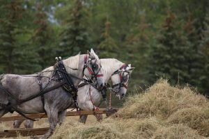 Horses on the farm in North Dakota