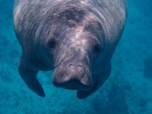 A manatee in deep waters