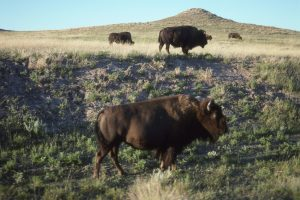 Hire Cross Country Movers and see american bison in the prairie.