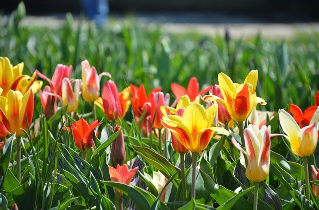 Tulips in several colors.