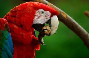 Ara parrot eating nuts